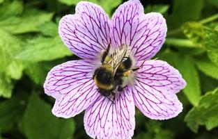 Heath Bumblebee.jpg