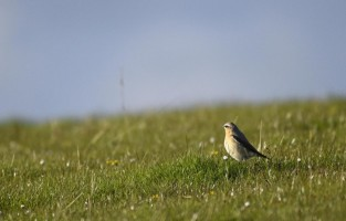 Druridge Bay Wheatear