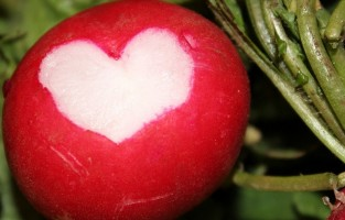 radish in garden with a heart carved into it