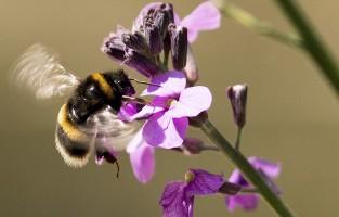 Buff-tailed bumblebee Bombus terrestris, South London