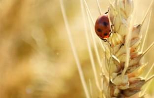 ladybird on wheat.jpg