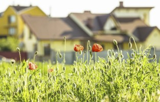 wild poppies in front of housing