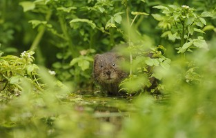 Water vole, Kent, UK
